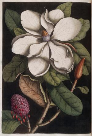 view White magnolia blossom and seed pod, 1731