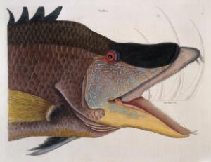view Head and jaws of Great hog-fish, 1731
