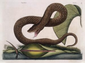 view Brown viper with Arum lily, 1731