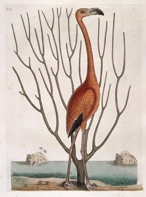 view Flamingo with Keratophyton plant, Bahamas, 1731