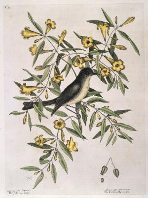 view Blackcap fly-catcher perched on Yellow jessamy, 1731