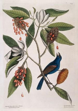 view Blue cross-beak and Sweet flowering bay, 1731