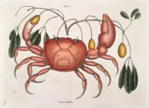 view Land crab with Tapia trifolia plant, 1731
