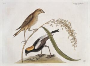 view Rice birds, male and female, America, 1731