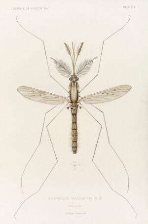 view Male mosquito, Anopheles maculipennis (atroparvus), 1901