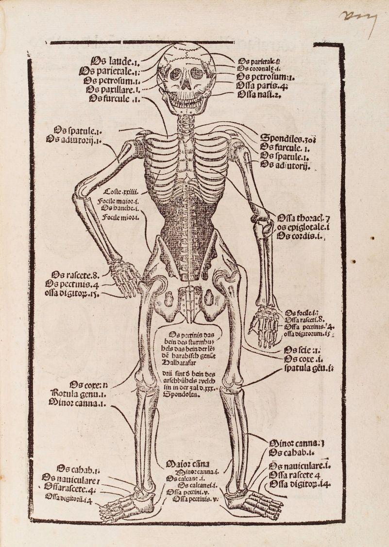 Diagram Of A Skeleton Describing The Major Bones Of The Human Body