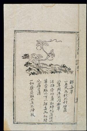 view Ming herbal (painting): Tricosanthes