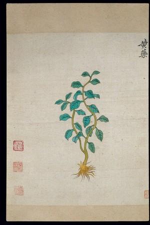 view Ming herbal (painting): Dioscorea bulbifera