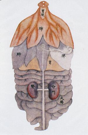 view Anatomical drawing of viscera, back view, C17/18 Chinese
