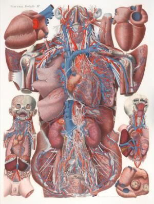 view Anatomical Illustration