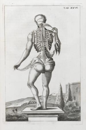 view Anatomical illustration showing the back of the human body
