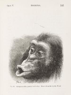 view Sulky chimpanzee from Darwin's Expression of Emotions...