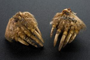 view Mole's foot amulet, Norfolk, England, 1890-1910