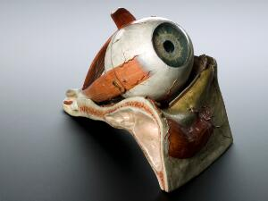 view Model of human eye, 1870, by Dr. Auzoux, French. Graduated grey background.