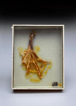 view Frog's foot specimen prepared by Joseph Lister, 1857