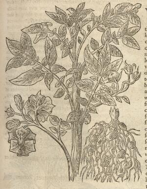 view Illustration of Potato of Virginia from The herball or, generall historie of plantes / Gathered by John Gerarde