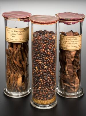 view Specimen jar of panicled acacia pods, India, 1840-1920