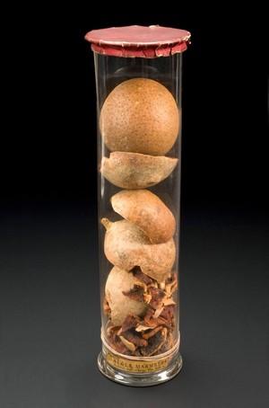 view Specimen jar containing bael fruits, India, 1871-1940