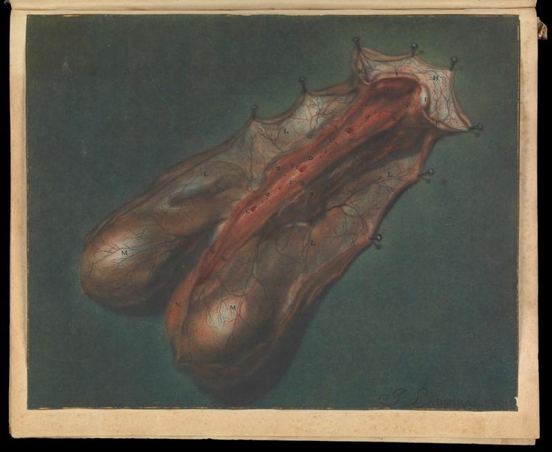 B.S. Albinus. Effigies Penis Humani.
