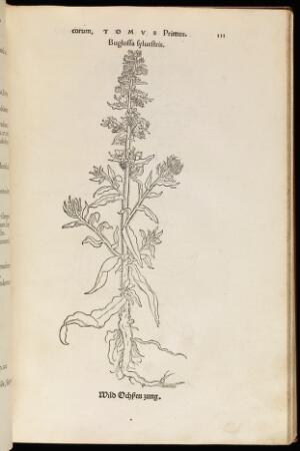 view Buglossa sylvestris, Wild Ochpen Zung