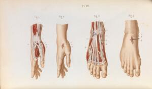 view Plate 12, Blood supply and ligature of the arteries.