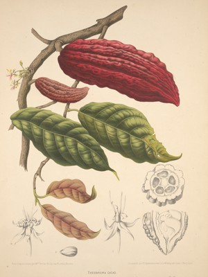 view Cacao (Theobroma cacao L.): fruiting and flowering branch with separate numbered sections of flowers, fruit and seed. Chromolithograph by P. Depannemaeker, c.1885, after B. Hoola van Nooten.