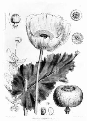 view Medicinal Plants: papaver somniferum.