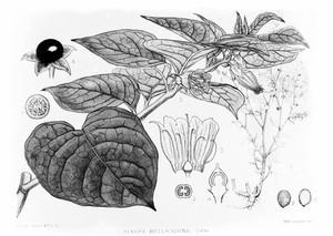 view Medicinal Plants: Atropa Belladonna.