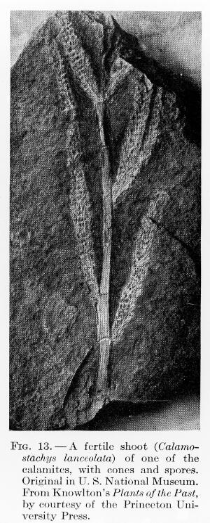 view Fertile shoot of one of the Calamites.