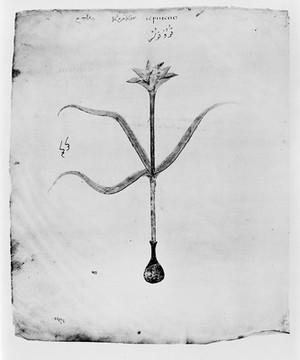 view Dioscorides, Codex Julianae Aniciae: Saffron