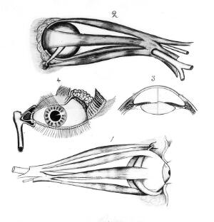 view Muscles of the eye.