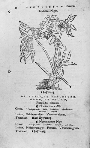"""view Otto Brunfels, Black Hellebore, in """"Herbarum vivae eicones"""""""