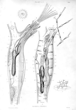 view Paludicella Ehrenbergi, of the sub-class Ectoprocta.