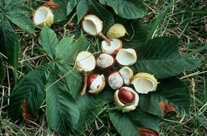 view Aesculus hippocastanum (H. chestnut fruits)
