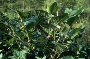 view Atropa belladonna (Deadly nightshade)