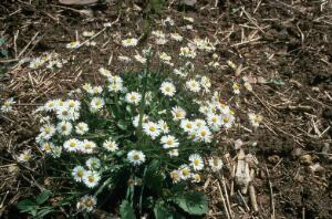 view Bellis perennis (Common daisy)