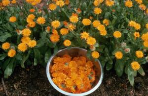 view Calendula officinalis (Marigold), flower harvesting