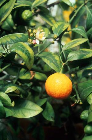 view Citrus sinensis (Orange)
