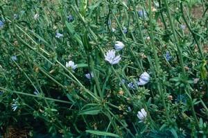 view Chicorium intybus (Chicory or Wild Succory)