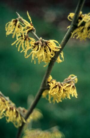 view Hamamelis virginiana (Witch hazel)
