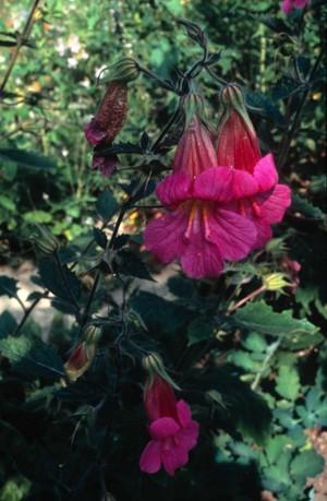 view Rehmannia Angulata (Chinese Foxglove)