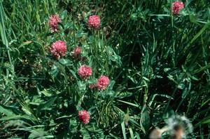 view Trifolium Pratense (Red Clover)