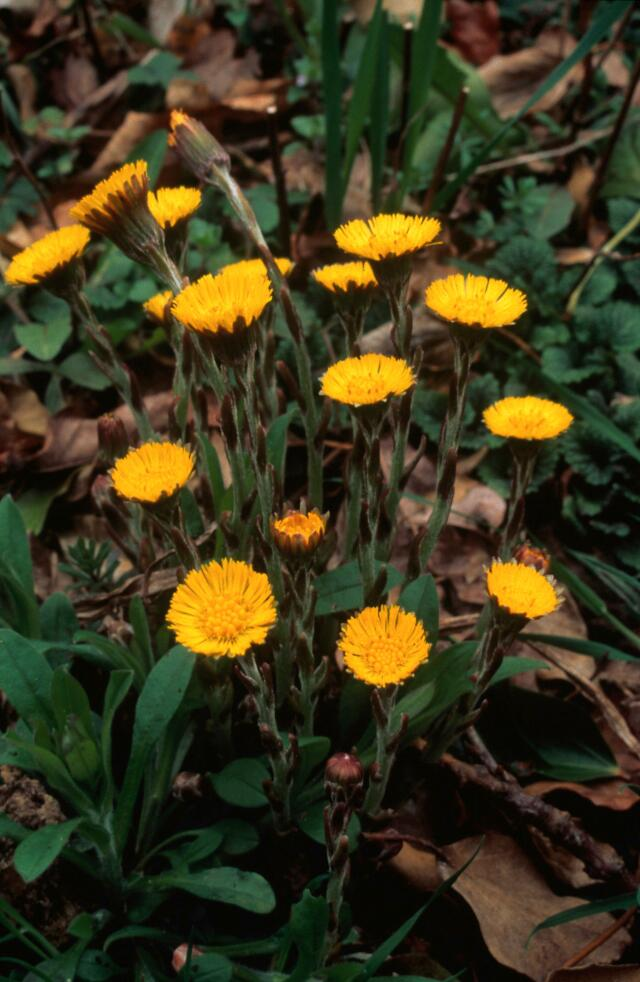 Collections search indian medicinal plants and drugs curcuma tussilago farfara coltsfoot mightylinksfo
