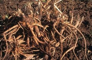 view Inula Radix (Root Harvesting)