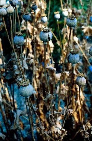 view Papaver somniferum (Opium poppy)