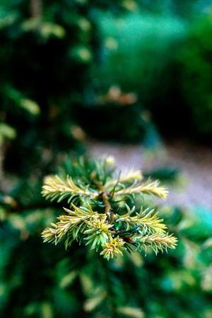 view Taxus Baccata, English Yew
