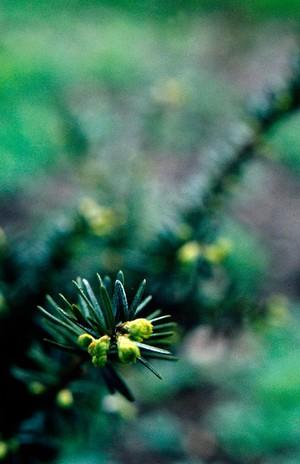 view Taxus baccata (English yew)