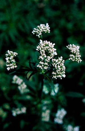 view Valeriana Officinalis, Common Valerian