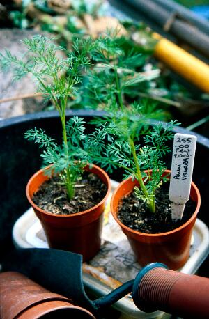 view Artemisia annua (Sweet wormwood)