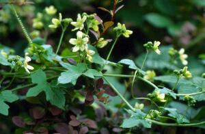 view Bryonia Dioica (White Bryony)